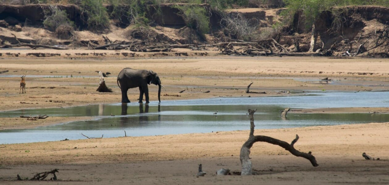 An elephant and an antelope drink in the Luangwa river bed.